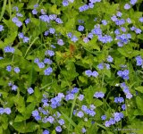 Veronica chamaedrys, Germander Speedwell