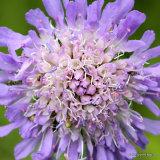Knautia arvensis, Field Scabious