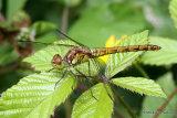 Common Darter (Sympetrum striolatum) F