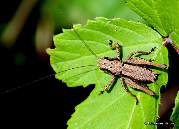 Dark Bush-cricket (Pholidoptera griseoaptera) M nymph