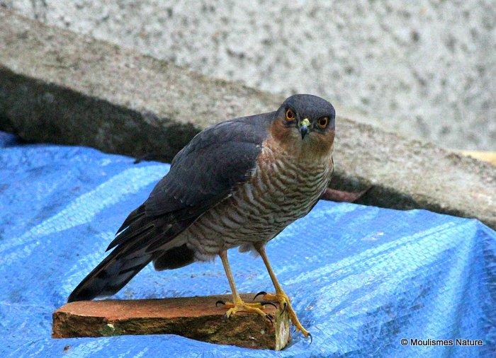 Eurasian Sparrowhawk (Accipiter nisus) M-Ad