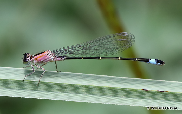 Blue-tailed Damselfly (Ischnura elegans) F-Imm 'rufescens'