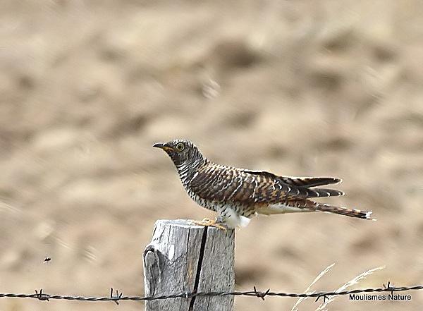 Common Cuckoo (Cuculus canorus) Juv