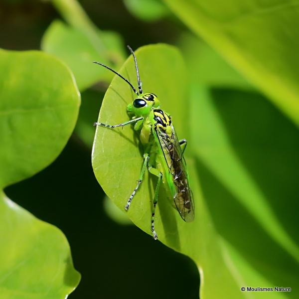 Rhogogaster viridis (Green Sawfly)