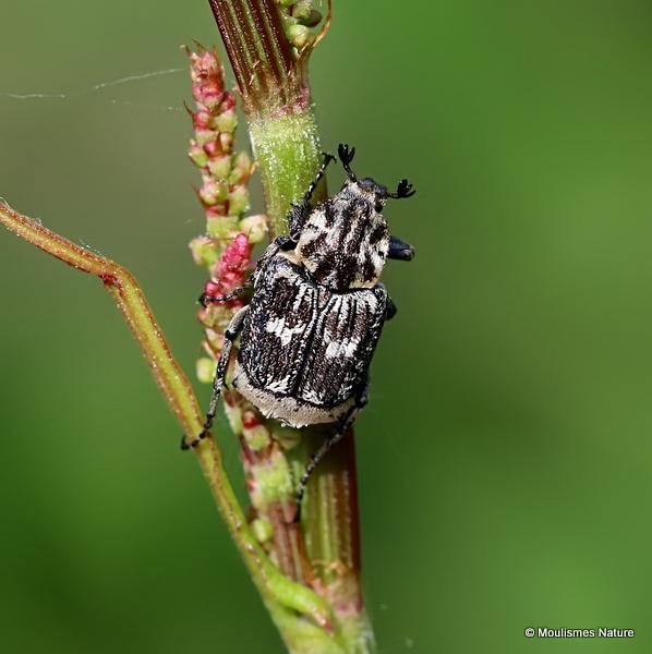 Scarab Beetle sp. Valgus hemipterus