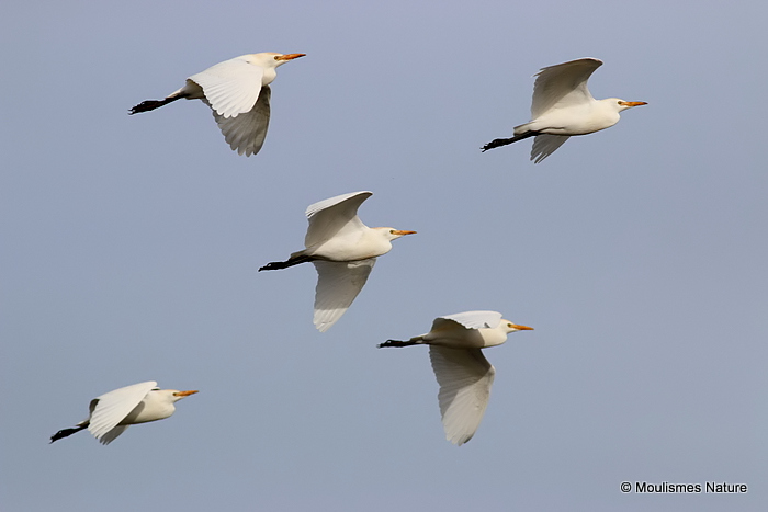 Cattle Egret (Bubulcus ibis) Ad-W