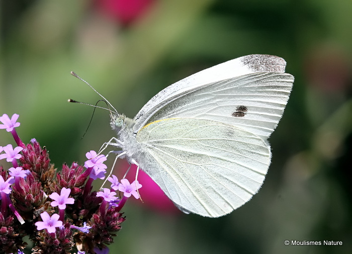 Large White (Pieris brassicae) F