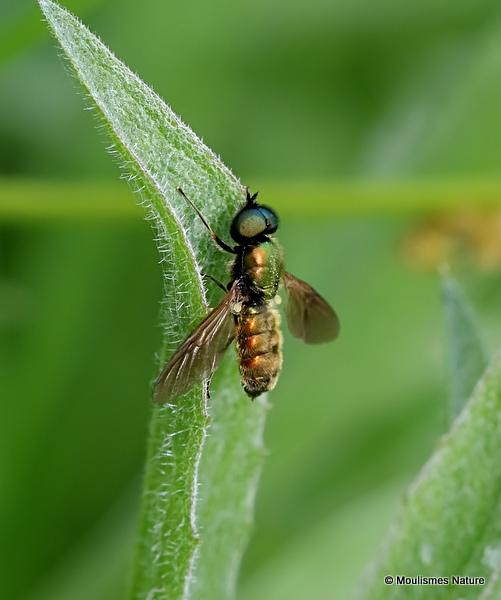 Broad Centurian (Chloromyia formosa) M