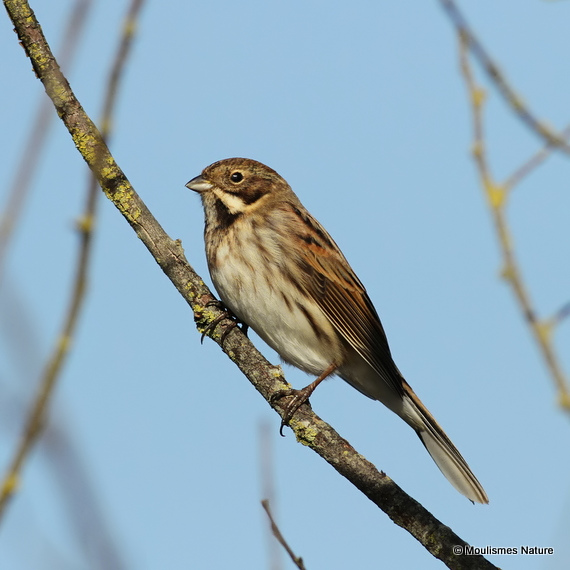 Common Reed Bunting (Emberiza schoeniclus) M-AdW