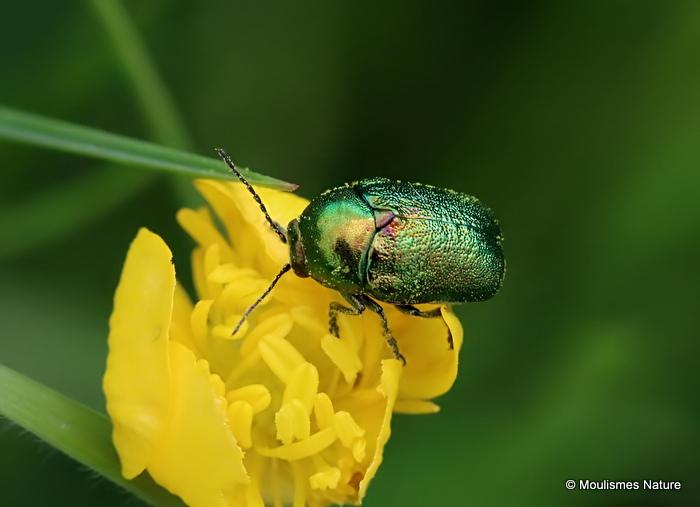 Leaf Beetle sp. Cryptocephalus sericeus