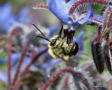 Long-horned bee (Eucera) sp. M