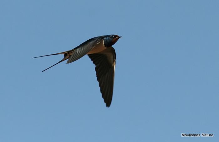 Barn Swallow (Hirundo rustica) ad-M, Hirondelle rustique