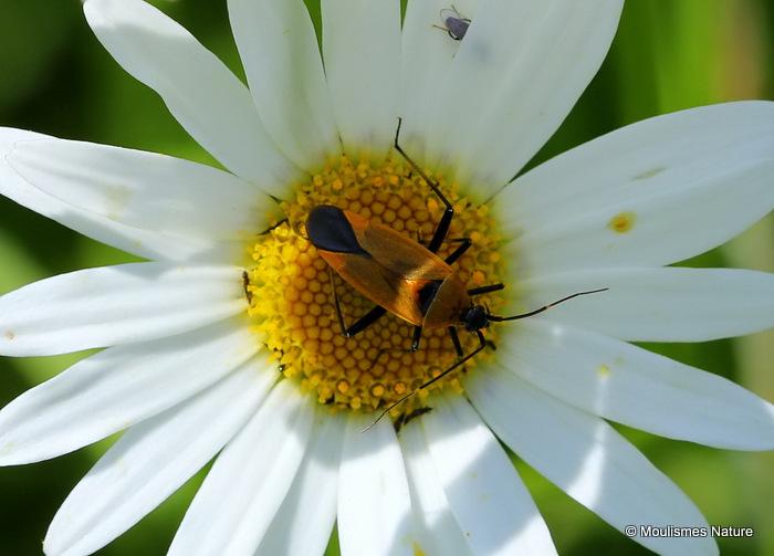 Unidentified Heteropteran bug sp.