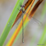 Willow Emerald (Lestes viridis) M