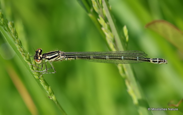 Dainty Damselfly (Coenagrion scitulum) F-Imm