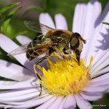 Eristalis nemorum (Stripe-faced Dronefly) F