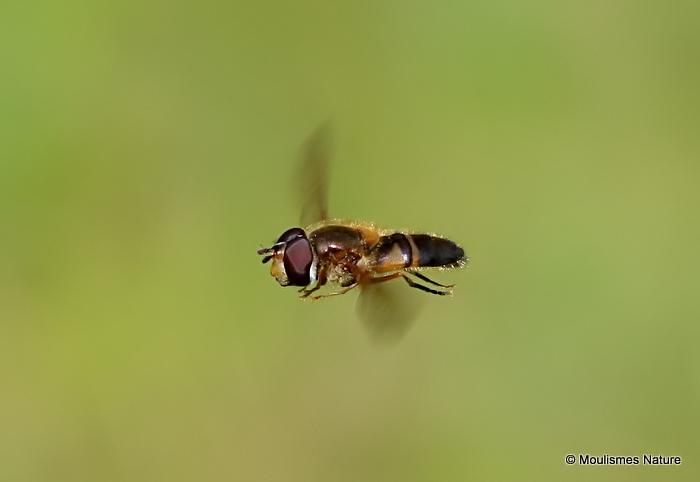 Eristalis arbustorum (Plain-faced Dronefly) M