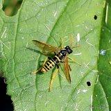 Figwort Sawfly (Tenthredo scrophulariae)