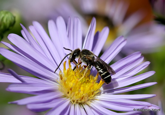 Lasioglossum bee sp.