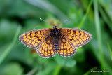 Meadow Fritillary (Mellicta parthenoides) M