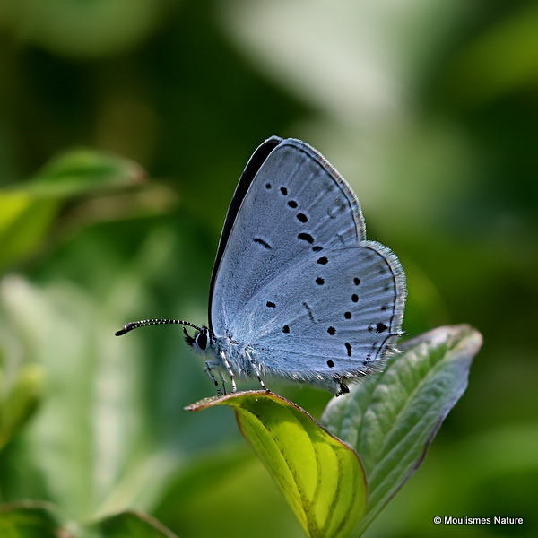 Provencal Short-tailed Blue (Everes alcetas) F