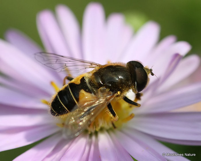 Eristalis nemorum (Stripe-faced Dronefly) M