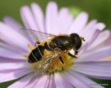 Eristalis nemorum (Stripe-faced Dronefly) M