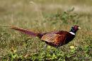 Common Pheasant (Phasianus colchicus), Faisan de Colchide M