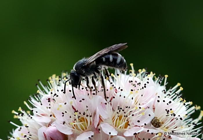 Ashy Furrow Bee (Lasioglossum sexnotatum) F