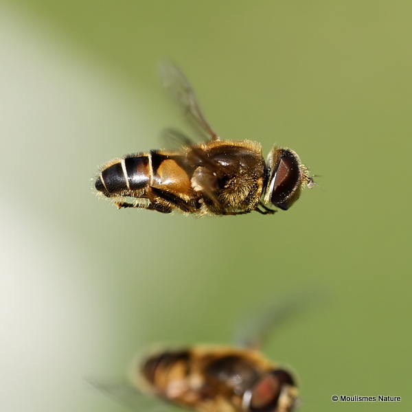 Eristalis nemorum (Stripe-faced Dronefly)