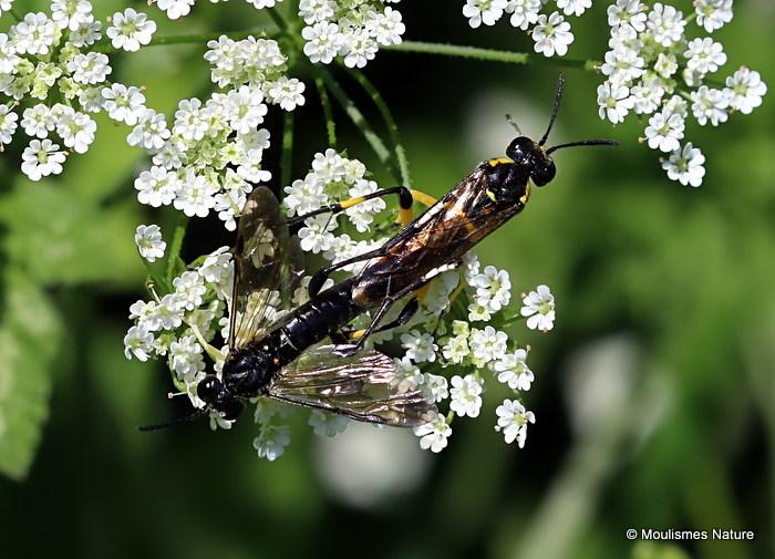 Macrophya montana (Sawfly sp.) M,F