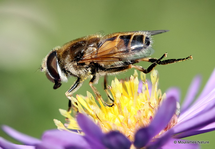 Eristalis arbustorum (Plain-faced Dronefly) M