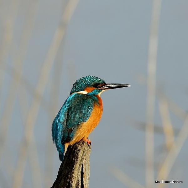Common Kingfisher (Alcedo atthis) M