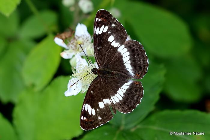 White Admiral (Limenitis camilla)