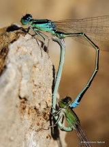 Scarce Blue-tailed Damselflies (Ischnura pumilio)