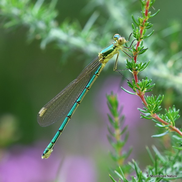Small Emerald (Lestes virens) F-Imm