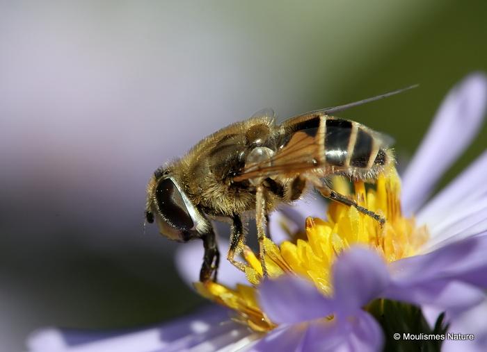 Eristalis arbustorum (Plain-faced Dronefly) F