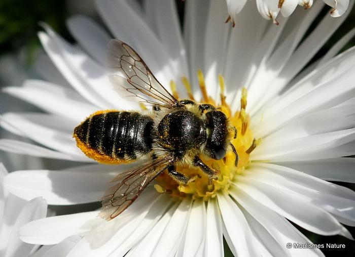 Patchwork Leaf-cutter Bee (Megachile centuncularis) F