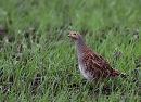 Grey Partridge (Perdix perdix) F