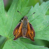 Large Skipper (Ochlodes venatus) F