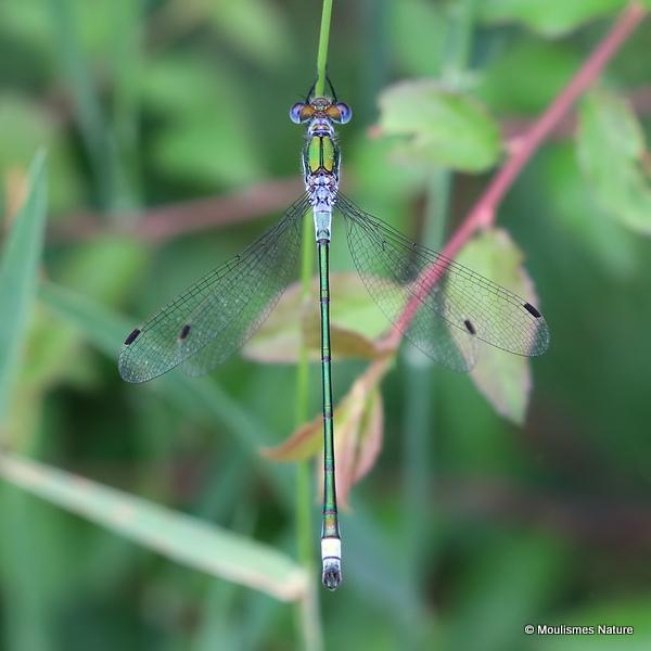 Common Emerald (Lestes sponsa) M, Leste fiance
