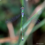 Common Emerald (Lestes sponsa) M