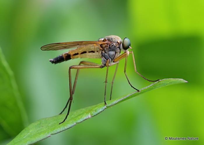Snipe Fly (Rhagionidae) sp.