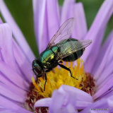 Greenbottle sp. (Calliphoridae sp.)
