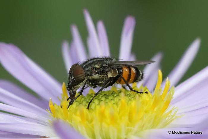 Locust Blowfly (Stomorhina lunata) M
