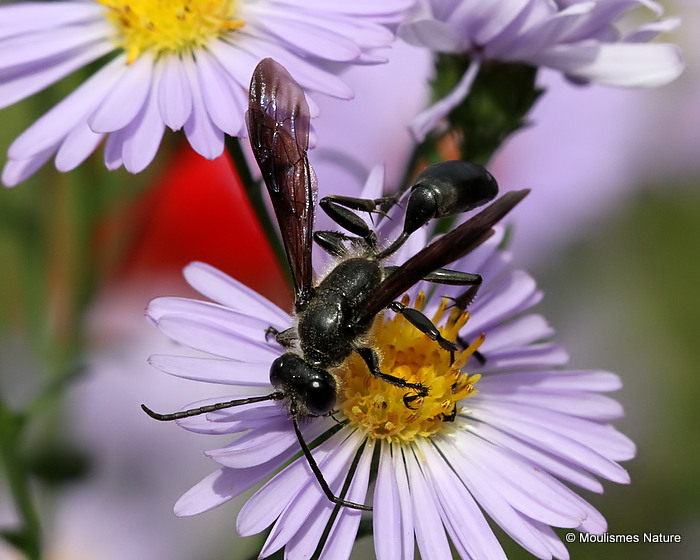 Isodontia mexicana (Grass-carrying Wasp)