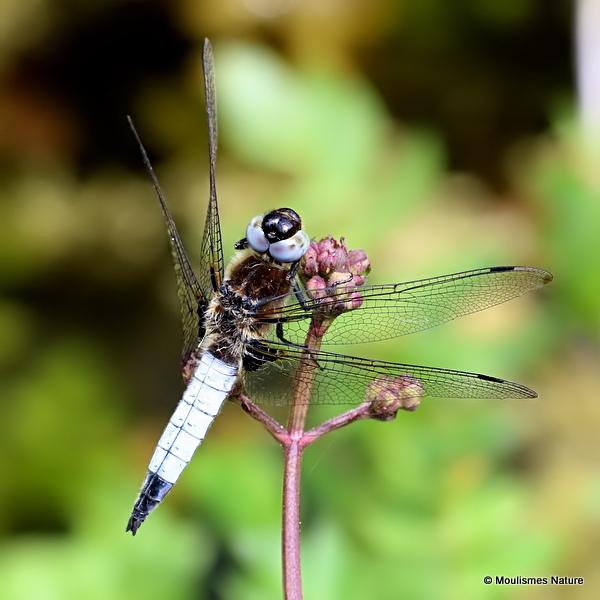 Scarce Chaser (Libellula fulva) M