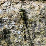 Blue-eyed Hooktail (Onychogomphus uncatus) M