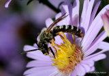 Great Banded Furrow Bee (Halictus scabiosae)