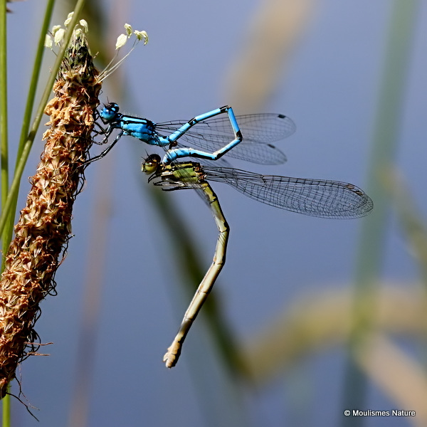 Common Blue Damselflies (Enallagma cyathigerum)